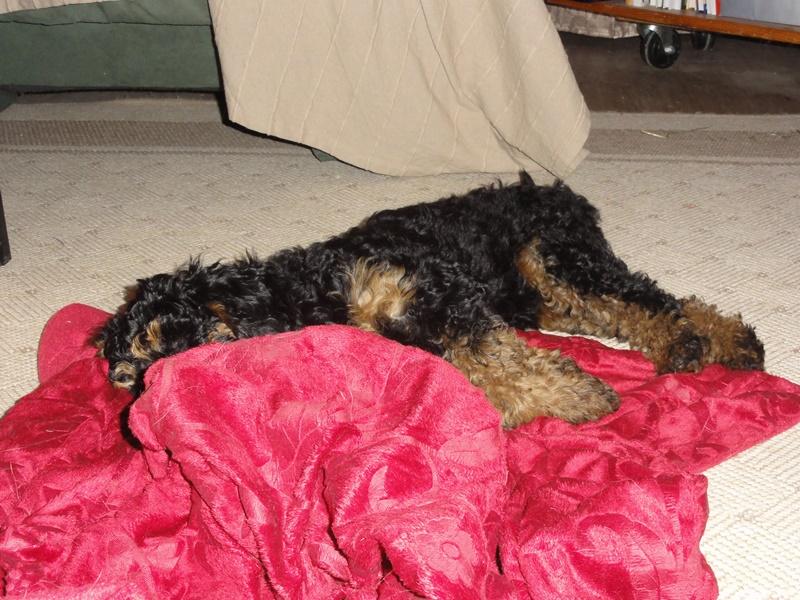 """Und Aponi macht es sich nach dem Spaziergang halt auf der Decke gemütlich wenn """"oben"""" besetzt ist..."""
