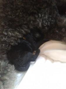 Bruni kuschelt zwischen den Vorderbeinen an der Brust von Mama